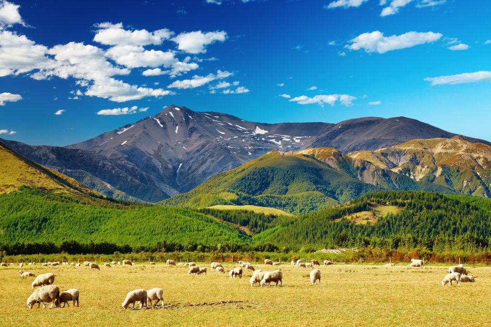 Mountain landscape with grazing sheep New Zealand